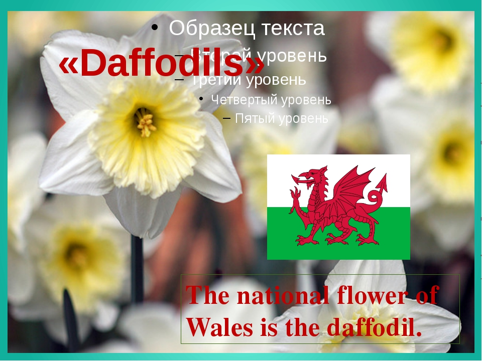 «Daffodils» The national flower of Wales is the daffodil.