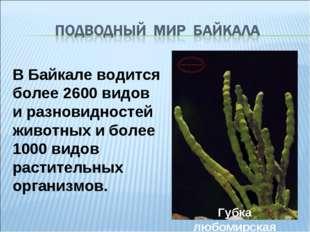 В Байкале водится более 2600 видов и разновидностей животных и более 1000 вид