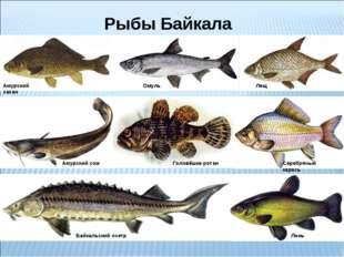 Рыбы Байкала Омуль Амурский сазан Лещ Байкальский осетр Линь Серебряный карас