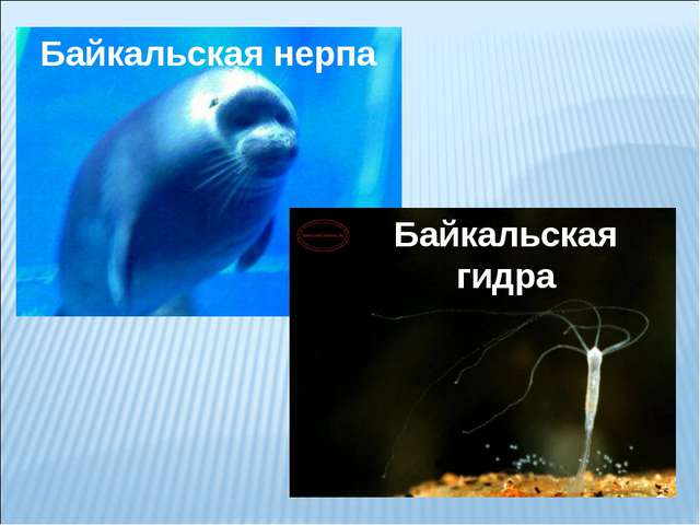 Байкальская нерпа Байкальская гидра