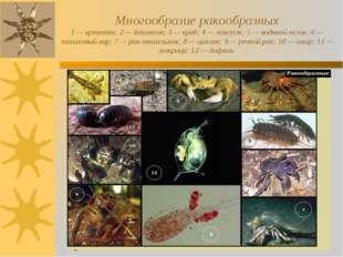 Многообразие ракообразных 1 — креветка; 2 — бокоплав; 3 — краб; 4 — лангуст;