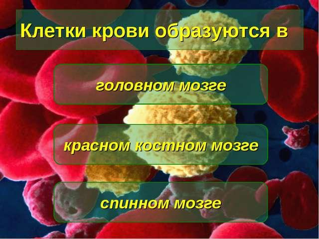 Клетки крови образуются в красном костном мозге головном мозге спинном мозге
