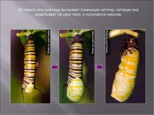 Из своего рта гусеница выпускает тоненькую ниточку, которую она наматывает на