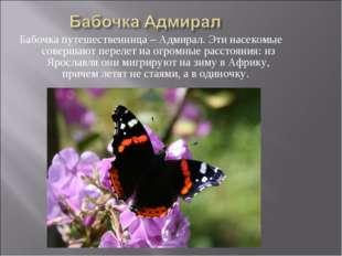 Бабочка путешественница – Адмирал. Эти насекомые совершают перелет на огромны
