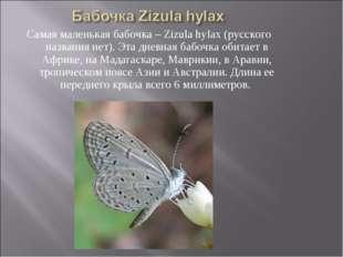 Самая маленькая бабочка – Zizula hylax (русского названия нет). Эта дневная б