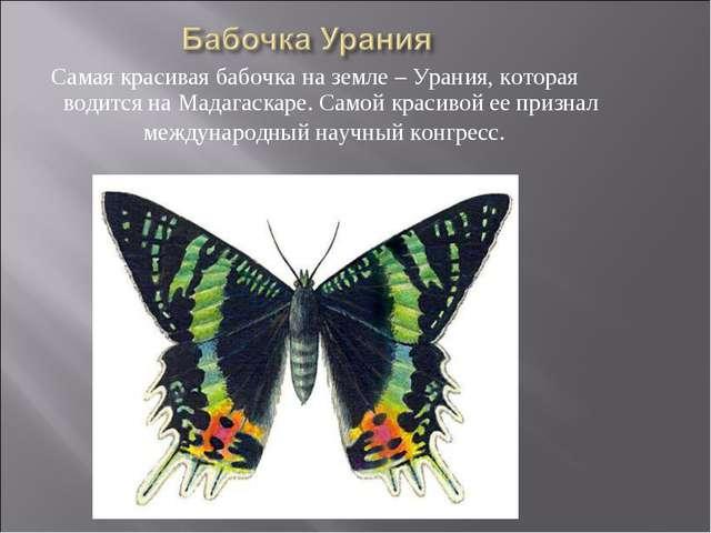 Самая красивая бабочка на земле – Урания, которая водится на Мадагаскаре. Сам...