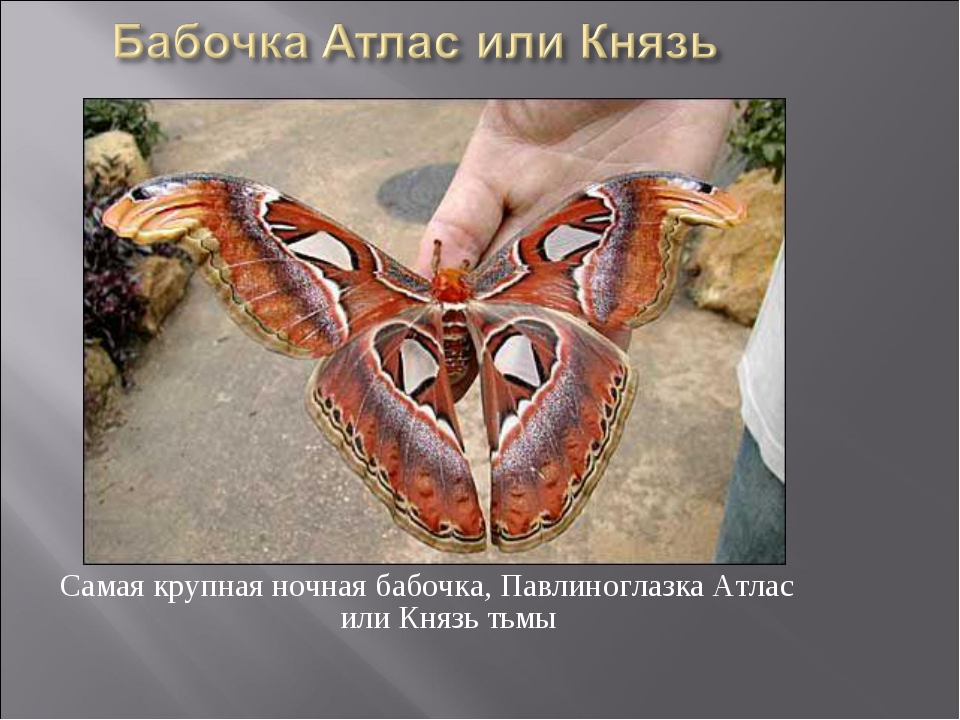 Самая крупная ночная бабочка, Павлиноглазка Атлас или Князь тьмы