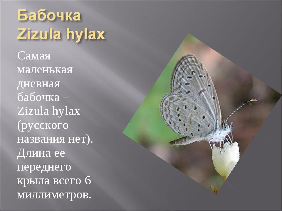 Самая маленькая дневная бабочка – Zizula hylax (русского названия нет). Длина...