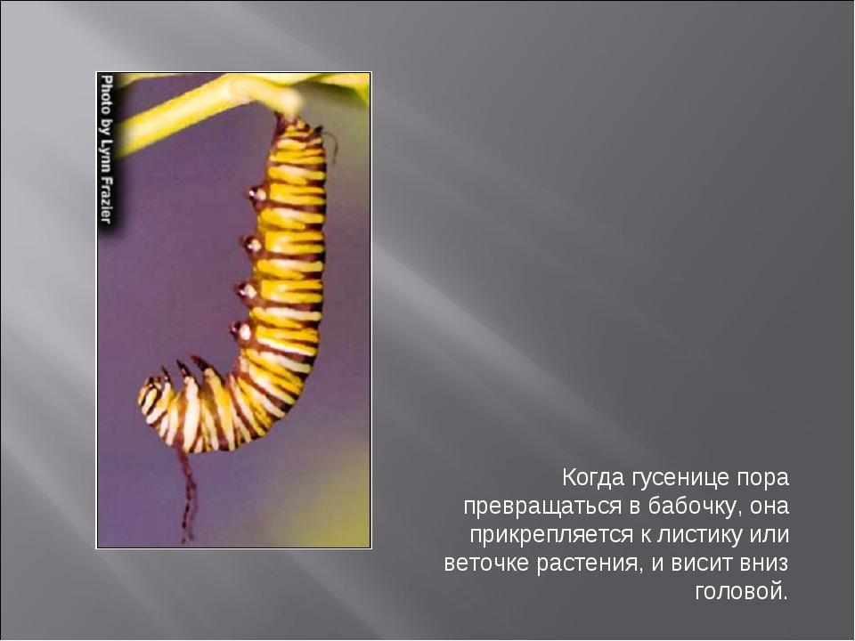 Когда гусенице пора превращаться в бабочку, она прикрепляется к листику или в...
