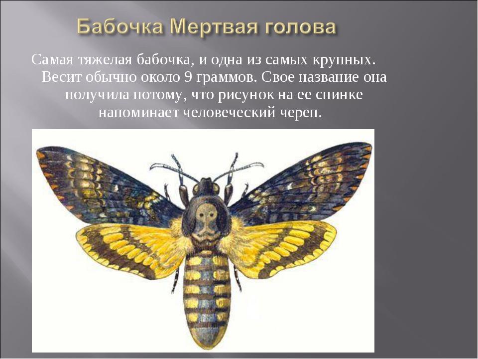 Самая тяжелая бабочка, и одна из самых крупных. Весит обычно около 9 граммов....
