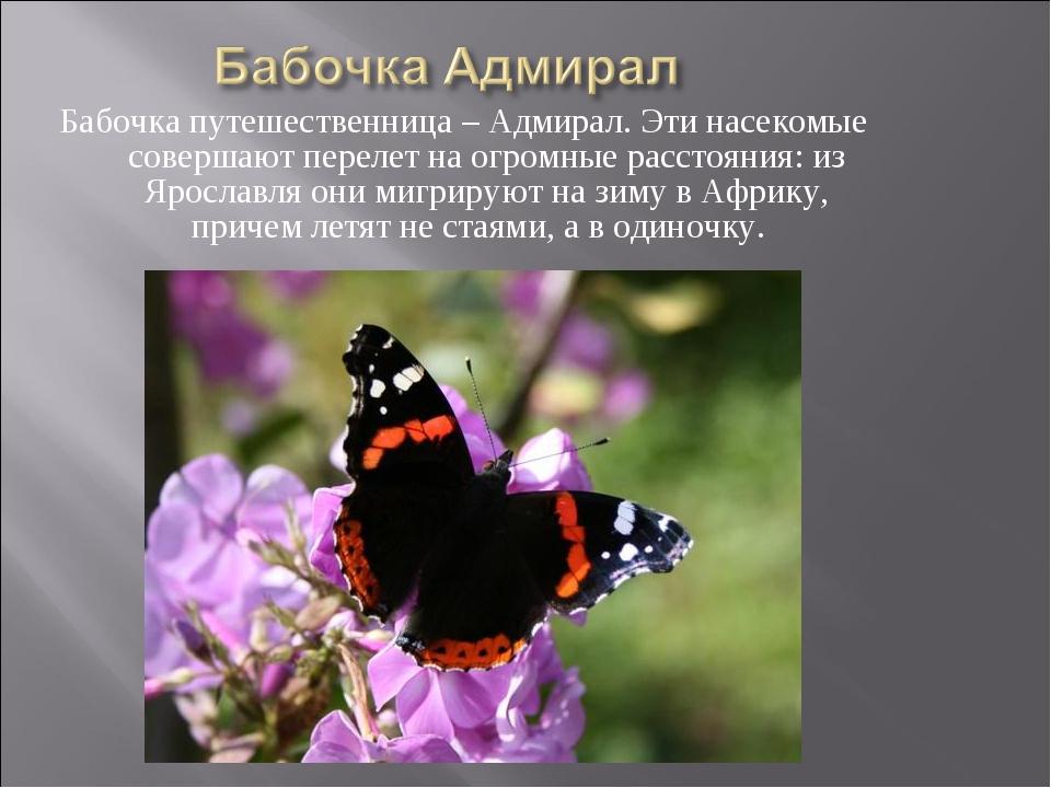 Бабочка путешественница – Адмирал. Эти насекомые совершают перелет на огромны...