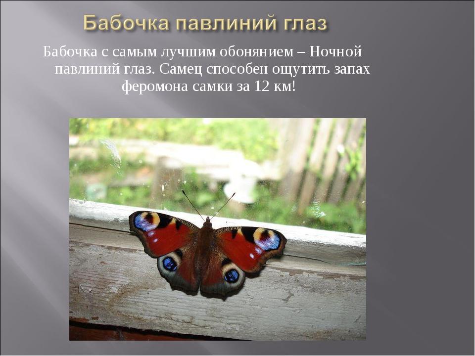 Бабочка с самым лучшим обонянием – Ночной павлиний глаз. Самец способен ощути...