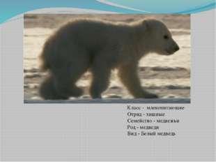 Класс - млекопитающие Отряд - хищные Семейство - медвежьи Род - медведи Вид