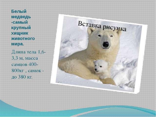 Белый медведь -самый крупный хищник животного мира. Длина тела 1,6-3,3 м, мас...