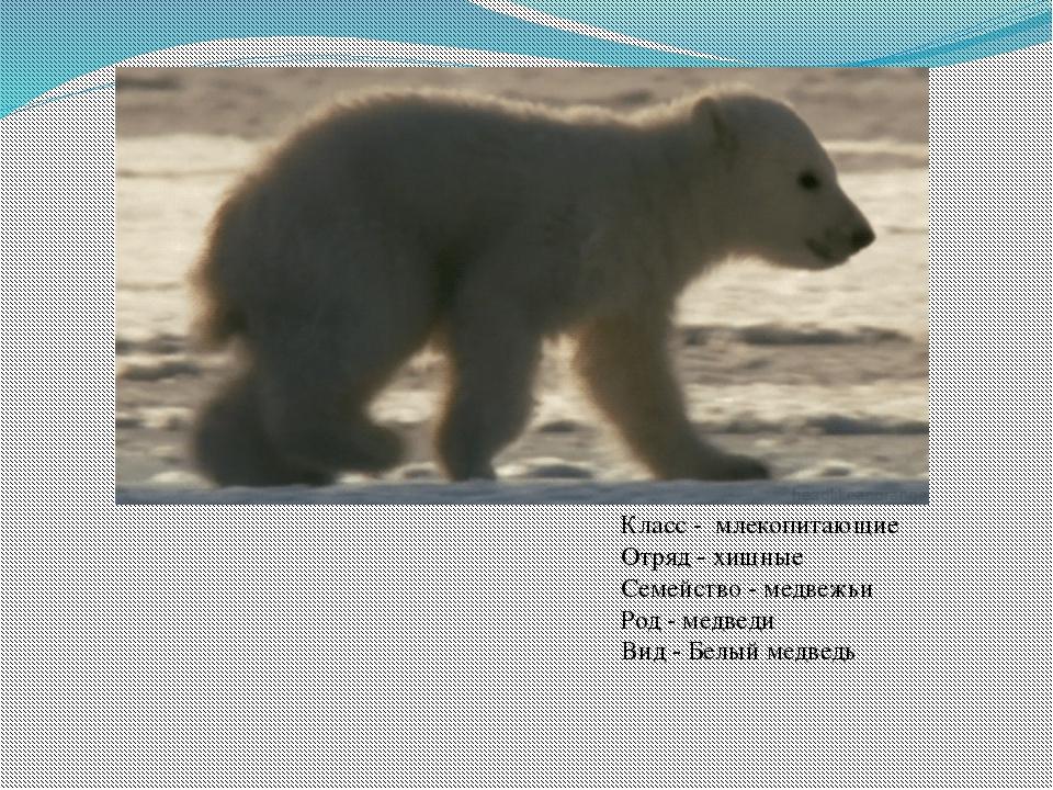 Класс - млекопитающие Отряд - хищные Семейство - медвежьи Род - медведи Вид...
