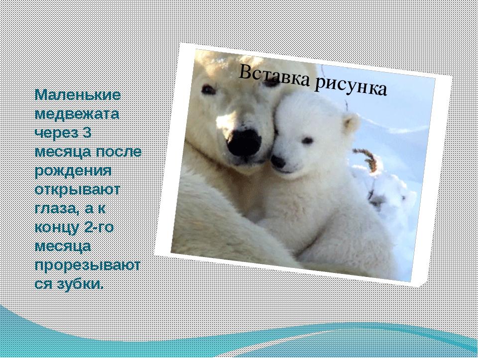 Маленькие медвежата через 3 месяца после рождения открывают глаза, а к концу...