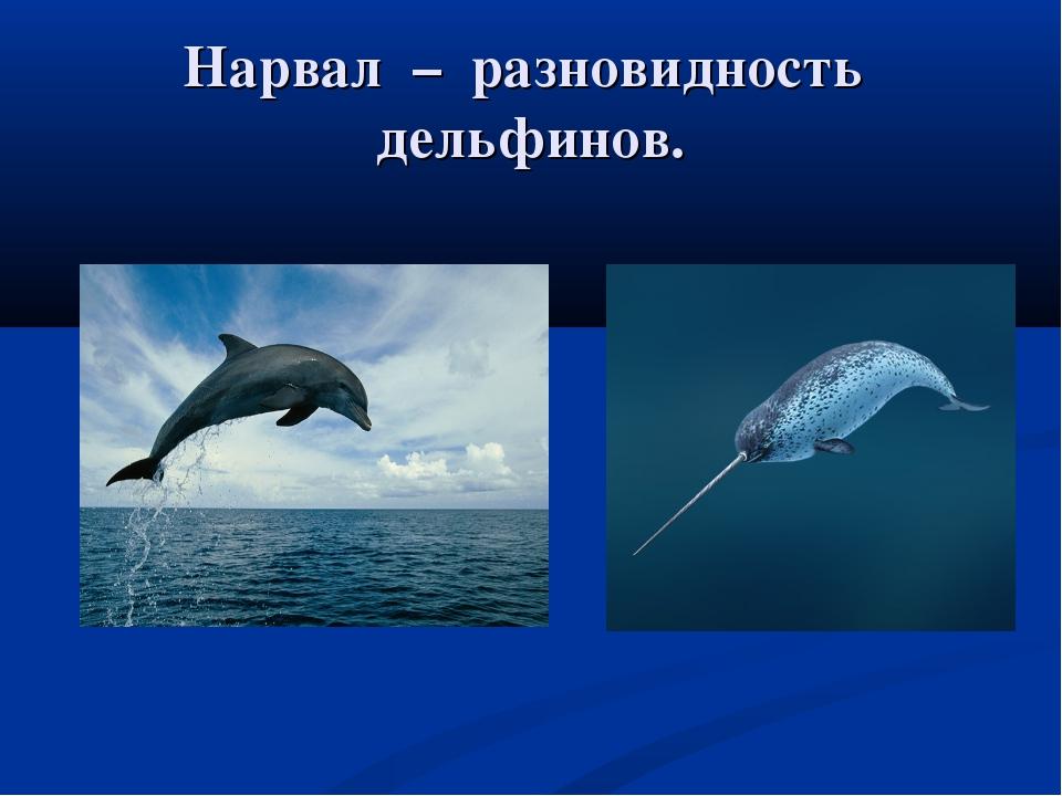Нарвал – разновидность дельфинов.