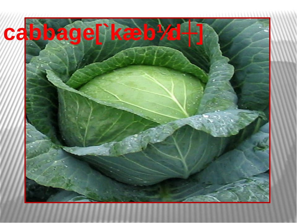 cabbage[`kæbɪdʒ]