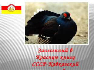 Занесенный в Красную книгу СССР-Кавказский тетерев.