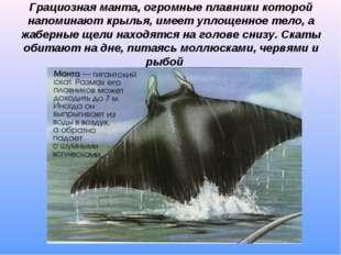 Грациозная манта, огромные плавники которой напоминают крылья, имеет уплощенн