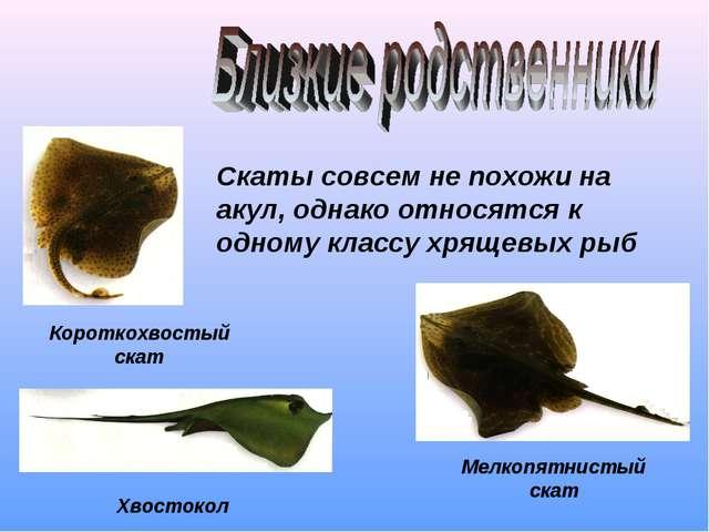 Скаты совсем не похожи на акул, однако относятся к одному классу хрящевых рыб...