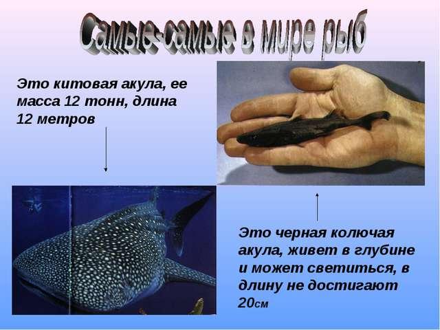Это китовая акула, ее масса 12 тонн, длина 12 метров Это черная колючая акула...
