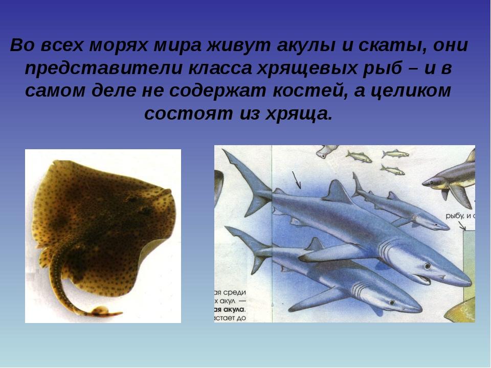 Во всех морях мира живут акулы и скаты, они представители класса хрящевых рыб...