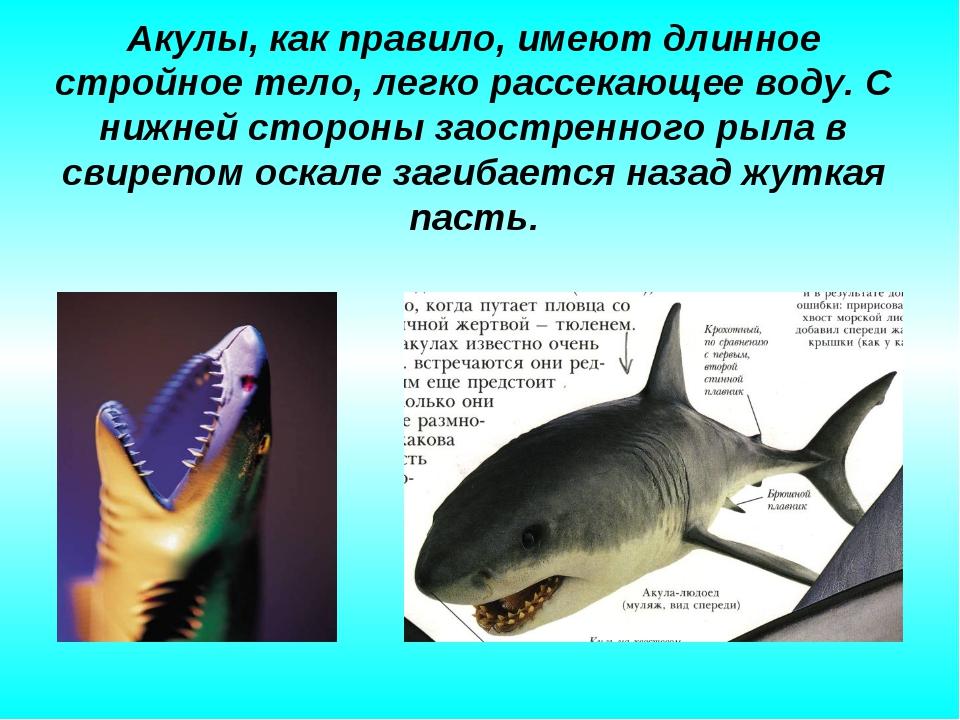 Акулы, как правило, имеют длинное стройное тело, легко рассекающее воду. С ни...