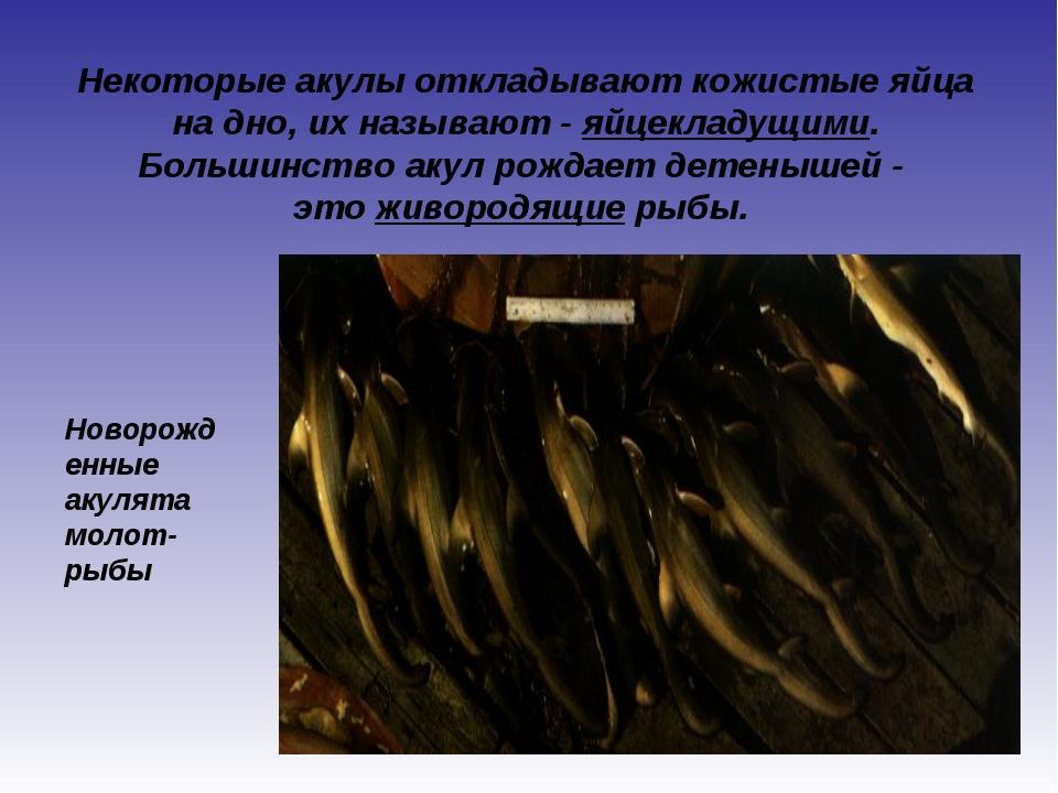 Некоторые акулы откладывают кожистые яйца на дно, их называют - яйцекладущими...