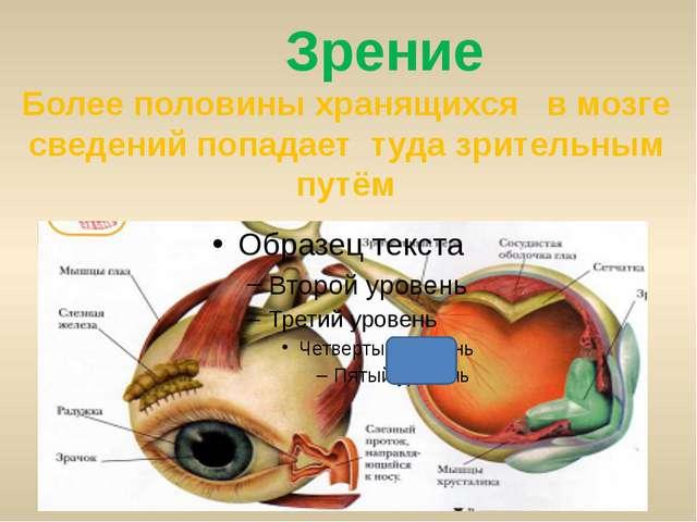 Зрение Более половины хранящихся в мозге сведений попадает туда зрительным п...