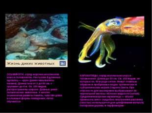 ОСЬМИНОГИ, отряд морских моллюсков класса головоногих. На голове 8 длинных щу