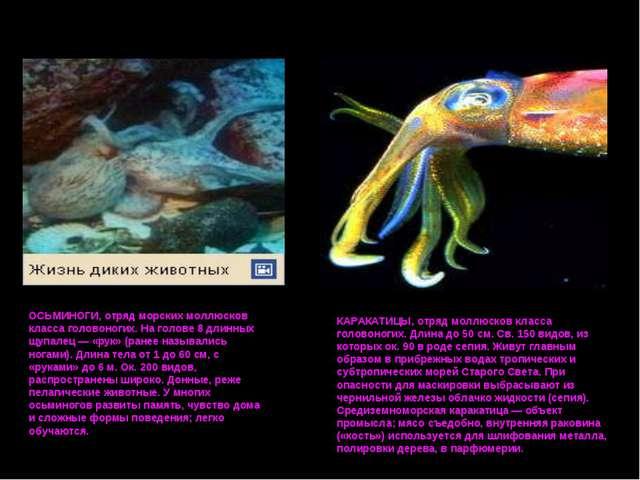 ОСЬМИНОГИ, отряд морских моллюсков класса головоногих. На голове 8 длинных щу...