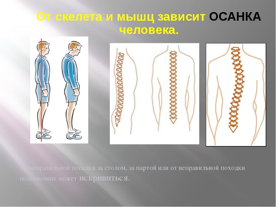 От скелета и мышц зависит ОСАНКА человека. От неправильной посадки за столом,...