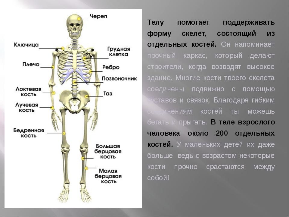 Телу помогает поддерживать форму скелет, состоящий из отдельных костей. Он на...