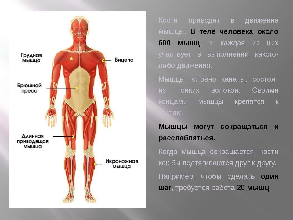 Кости приводят в движение мышцы. В теле человека около 600 мышц, и каждая из...