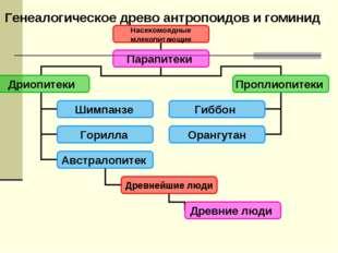 Генеалогическое древо антропоидов и гоминид