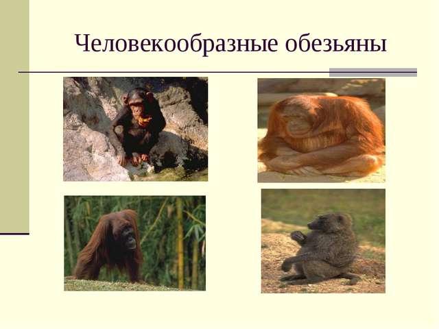 Человекообразные обезьяны