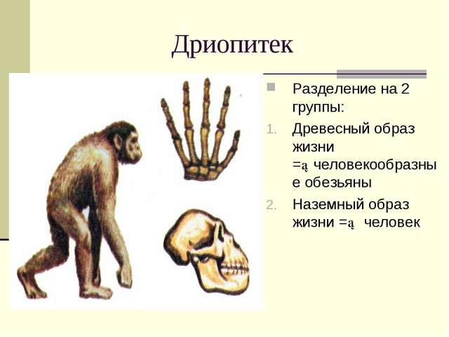 Дриопитек Разделение на 2 группы: Древесный образ жизни =►человекообразные об...