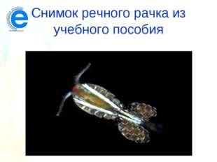 Снимок речного рачка из учебного пособия