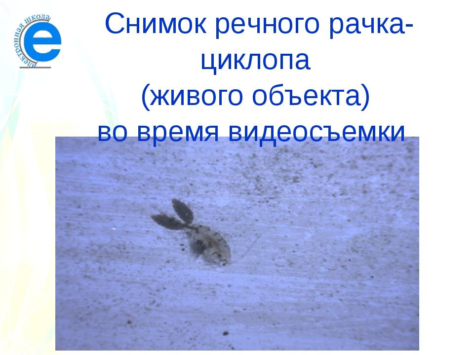 Снимок речного рачка-циклопа (живого объекта) во время видеосъемки