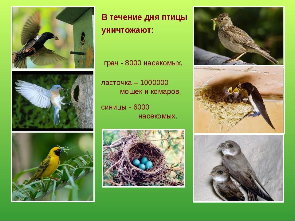 В течение дня птицы уничтожают: грач - 8000 насекомых, ласточка – 1000000 мош...