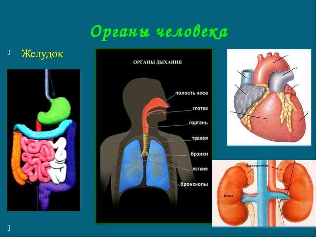 Органы человека Желудок кишечник