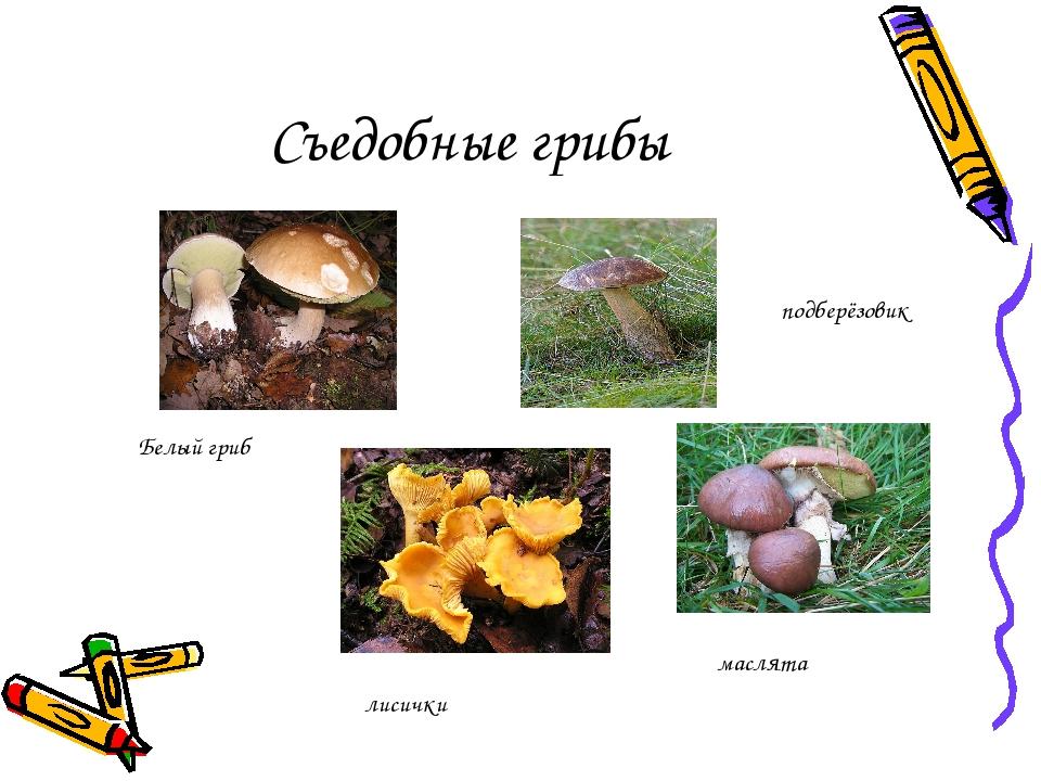 Съедобные грибы подберёзовик Белый гриб лисички маслята