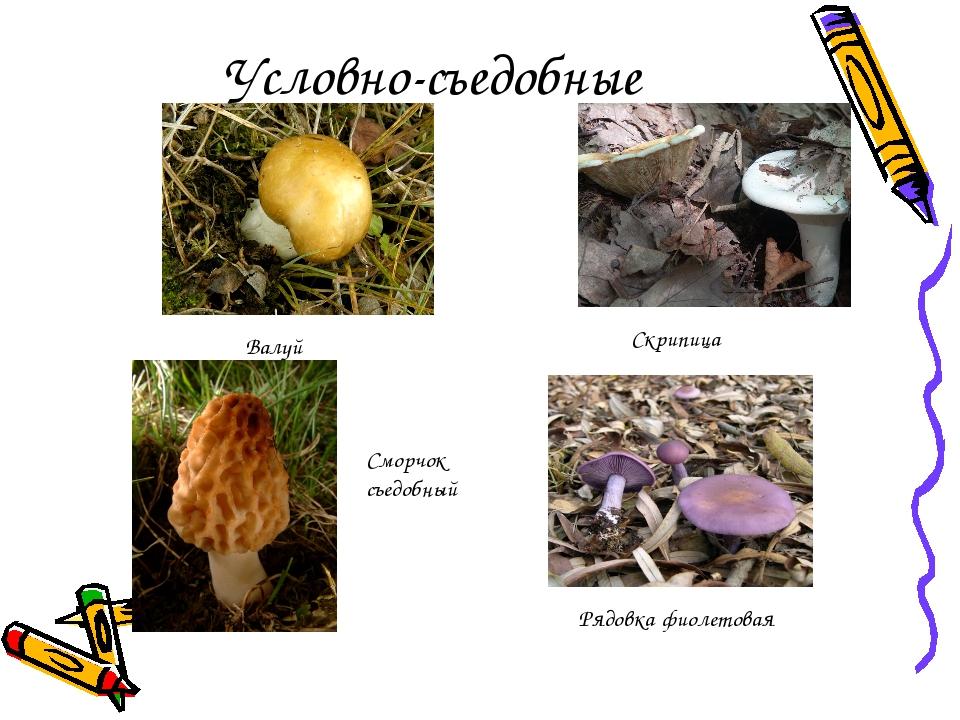 Условно-съедобные Валуй Рядовка фиолетовая Сморчок съедобный Скрипица