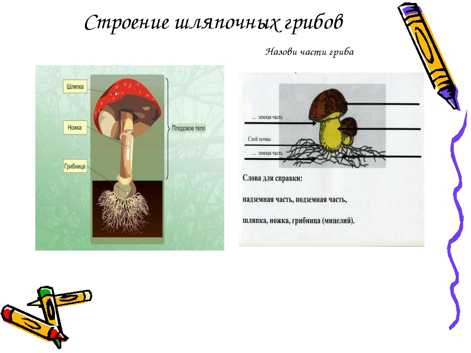 Строение шляпочных грибов Назови части гриба