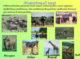 Животный мир Антилопы Гну Носорог Зебра Жираф Саванны богаты растительной пищ