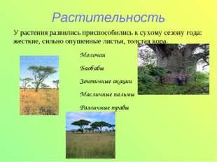 Растительность Молочаи Баобабы Зонтичные акации Масличные пальмы Различные тр