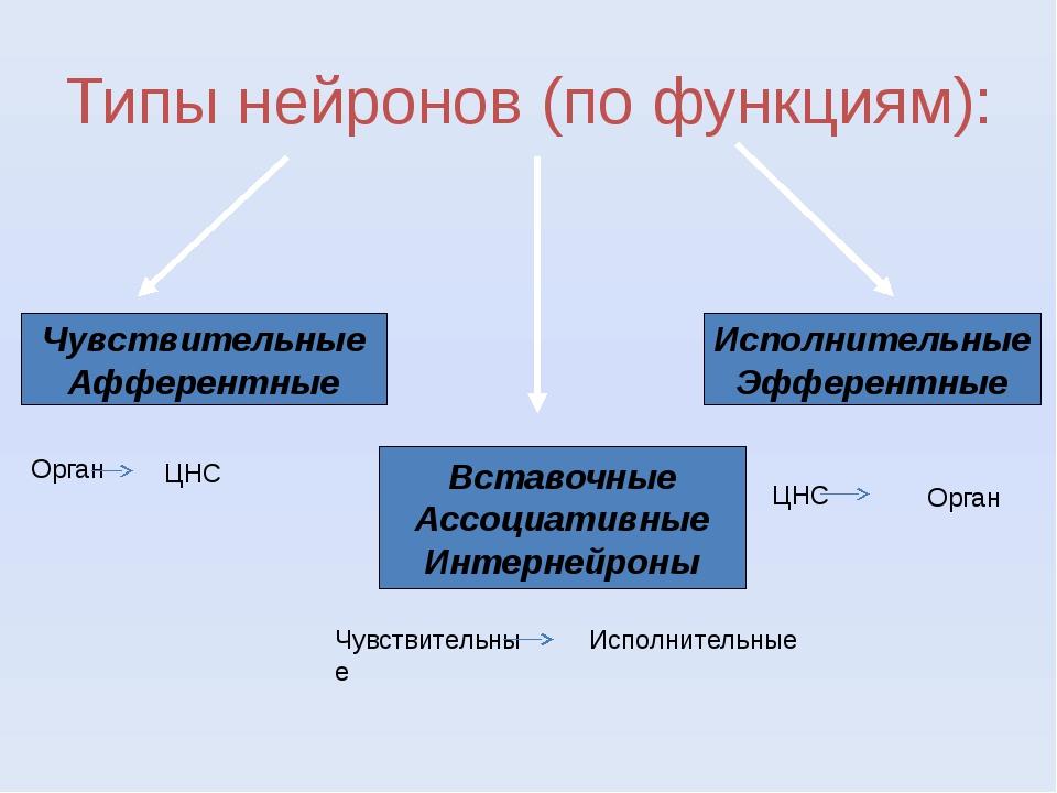 Типы нейронов (по функциям): Чувствительные Афферентные Вставочные Ассоциатив...