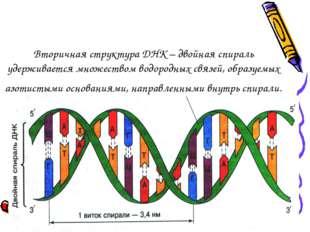 Вторичная структура ДНК – двойная спираль удерживается множеством водородных