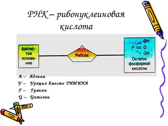 РНК – рибонуклеиновая кислота А – Аденин У – Урацил вместо ТИМИНА Г – Гуанин...